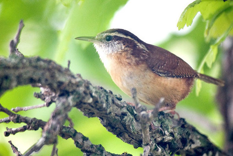 Little bird, big voice   Mary Ann's Nature Articles from The Hutto News   Scoop.it