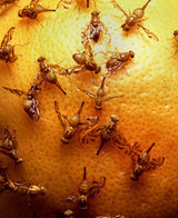 10 Tips for Getting Rid of Fruit Flies | 100 Acre Wood | Scoop.it