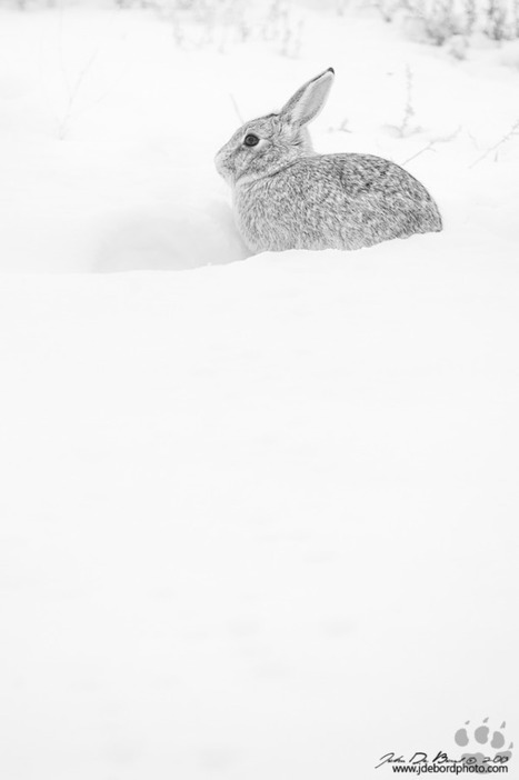 A Portrait Of A Cottontail | Steenie's Photography News | Scoop.it