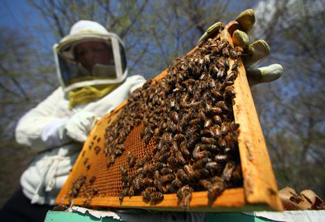 Apiculture : le nombre d'apiculteurs chute de 40% en six ans (FranceAgriMer) | Abeilles, intoxications et informations | Scoop.it