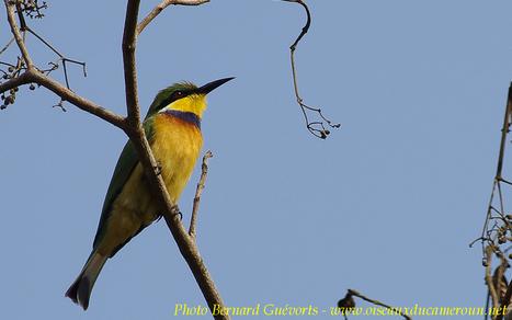 Le blog des oiseaux du Cameroun | Cameroun ornithologie | Scoop.it