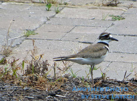 Killdeer | Travel Musings and Photography | Scoop.it
