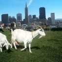 Rent-A-Goat To Mow Your Lawn — The Pop-Up City | Modern-Day Homesteader | Scoop.it