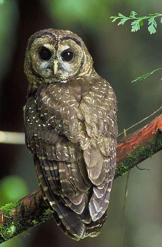 Biodiversity: Spotted owl populations in steep decline | liu wai  ling | Scoop.it