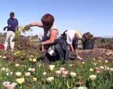 La Clau - Arrachage public de plantes exotiques en Roussillon - Economie | Sciences participatives, pratiques collaboratives | Scoop.it