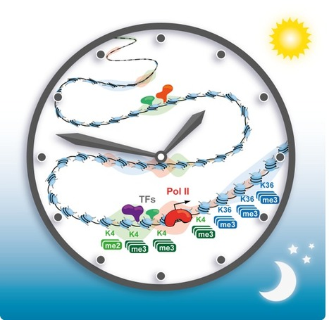 Rhythmic Changes in Gene Activation Power the Circadian Clock | Organ Donation & Transplant Matters Resources | Scoop.it