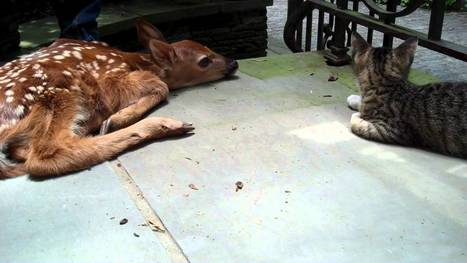 Kitten excited to see baby deer on the front porch - YouTube#t=90   Liberty Revolution   Scoop.it