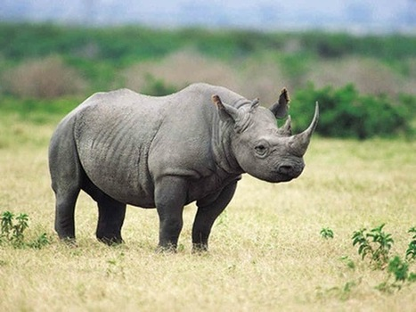 The Black Rhinoceros: To Hunt or Not to Hunt? - lovetheplanet | Wildlife t shirts | Scoop.it