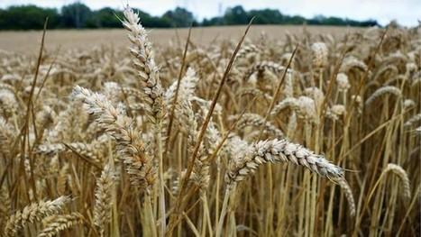 Weetabix renews pledge to source 100% British wheat | WHEAT | Scoop.it