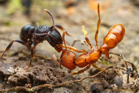 Intense Macro Photos of Ants Battling to the Death | All About Ants | Scoop.it