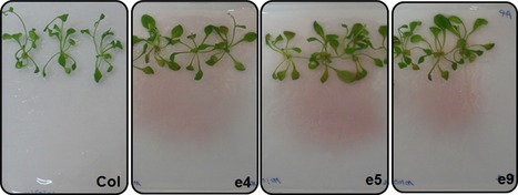 Plant Biotech J: The secretion of the bacterial phytase PHY-US417 by Arabidopsis roots reveals its potential for increasing phosphate acquisition and biomass production during co-growth (2016) | Plants and Microbes | Scoop.it