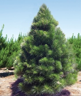 Christmas Tree (1.8m)   Christmas Trees, Decaration and More   Scoop.it