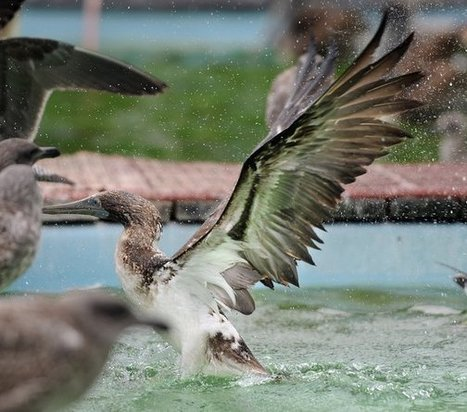 Blue-footed boobies delighting California bird-watchers | Sustain Our Earth | Scoop.it