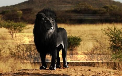 Sur les traces du lion noir - France Inter | Images fixes et animées - Clemi Montpellier | Scoop.it