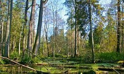 Last stand for Europe's remaining ancient forest as loggers prepare to move in   GarryRogers Biosphere News   Scoop.it