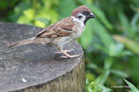 Les oiseaux communs sont-ils toujours communs ? | Vigie Nature | Les colocs du jardin | Scoop.it