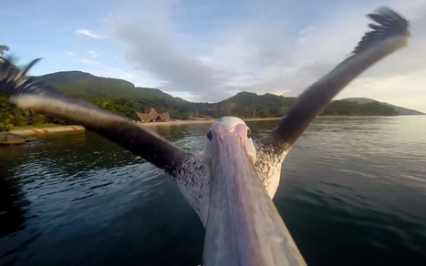 GoPro cam-fitted pelican shows us how to soar above all odds in awe-inspiring ... - Tech Times | GoPro Fun | Scoop.it