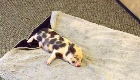 Rescue Pig Can't Stop Running ... Until She Feels Her New Blanket | Pet Sitter Picks | Scoop.it