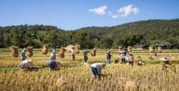 Millions Spent, No One Served: Who Is to Blame for the Failure of GMO Golden Rice? | Questions de développement ... | Scoop.it