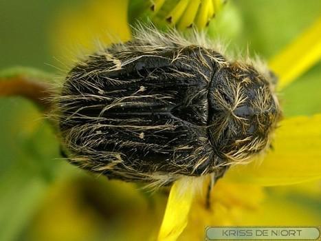 Photos d'insectes : Cétoine hérissée - Cétoine hirsute - Cétoine velue - Tropinota hirta - Apple blossom beetle | Fauna Free Pics - Public Domain - Photos gratuites d'animaux | Scoop.it