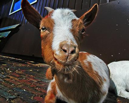 10 life-saving animals: Goat | Animals Make Life Better | Scoop.it