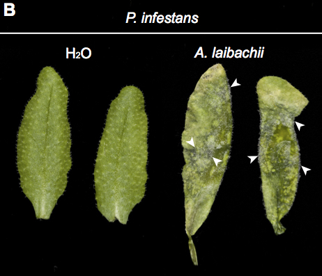 bioRxiv: Arabidopsis late blight: Infection of a nonhost plant by Albugo laibachii enables full colonization by Phytophthora infestans (2015) | Publications from The Sainsbury Laboratory | Scoop.it