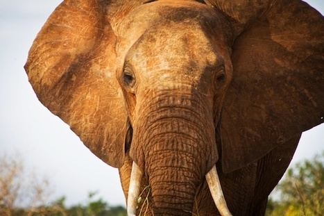Killing in Kenya: Aidan Hartley tracks the last steps of an elephant | safarious | Scoop.it