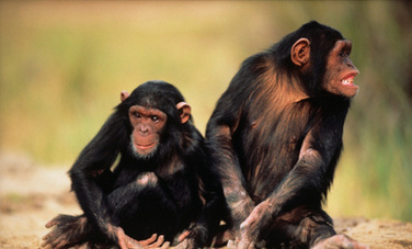 Your Oreos Are Helping to Kill Chimpanzees | Healing our planet | Scoop.it