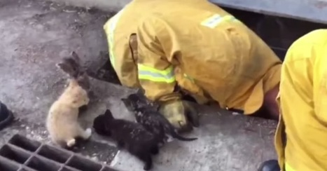 Firefighters Make A Dramatic Rescue When A Mother Cat Loses Her 8 Kittens In A Storm Drain | Oceans and Wildlife | Scoop.it