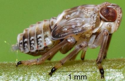 Des engrenages mécaniques «inventés» par les insectes | Nouvelles arthropodes | Scoop.it