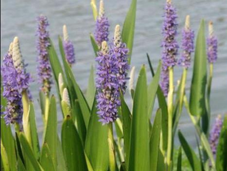 Are aquatic plants dangerous to Koi   Pond Talk   Scoop.it