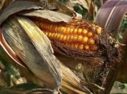 BU Savoie » OGM : ouvrons le débat ! | Les souris du Pr Seralini et les OGM | Scoop.it
