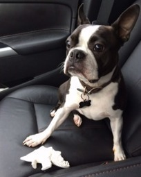 "LOST DOG: 83 Wexford Rd, Dartmouth, Halifax Co., NS — Boston Terrier, Male, 3 — ""Homer"" 