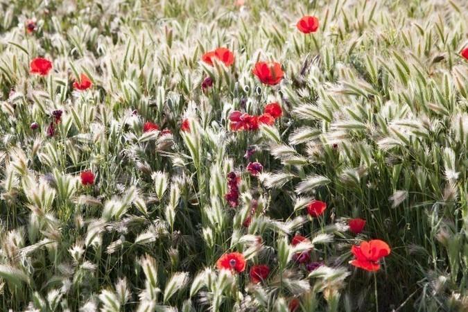 Des fleurs au milieu des champs de blé pour se passer des pesticides