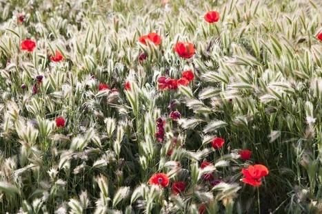 Des fleurs au milieu des champs de blé pour se passer des pesticides | Chimie verte et agroécologie | Scoop.it