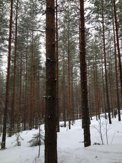 Yale Environment 360: Pine Forest Aerosols Play Significant Role in Climate, Study Says | Sustainable Futures | Scoop.it