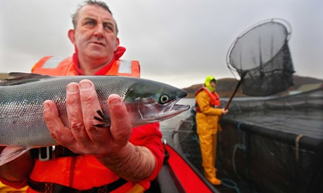 Fish farms are destroying wild Scottish salmon, says leading environmentalist | Aquaculture | Scoop.it