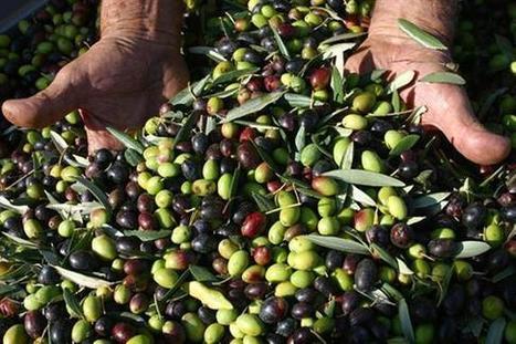A Quiliano si celebra l'olio d'oliva del ponente Torna Ulivagando 2014 - Rsvn.it | PrimOlio, il Blog | Scoop.it