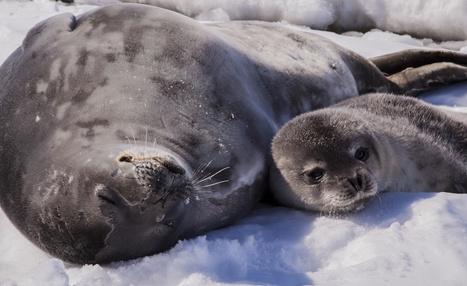 Instants magiques avec les #phoques de l'#Antarctique #video #banquise | Hurtigruten Arctique Antarctique | Scoop.it