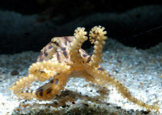 Tiny but #deadly: Spike in blue-ringed #octopus sightings sparks fear of ...   Rescue our Ocean's & it's species from Man's Pollution!   Scoop.it