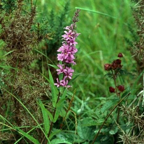 herbcraft... purple loosestrife   D.I.Y. Herbalism   Scoop.it