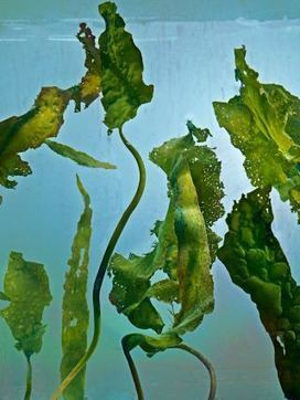 Is Seaweed the Next Superfood? - The New Yorker | Futurable Planet: Answers from a Shifted Paradigm. | Scoop.it