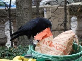 Oiseaux des villes | biodiversité - ornithologie - biologie de la conservation | Scoop.it