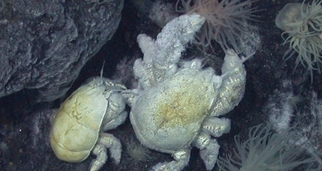 Scientists in Antarctica photographed a new species of crab. It's extraordinary he even exists. | enjoy yourself | Scoop.it