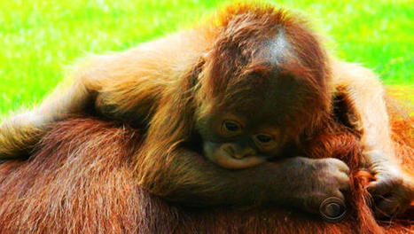 Baby orangutan is best new hope for survival of his species | Gay Parenting | Scoop.it