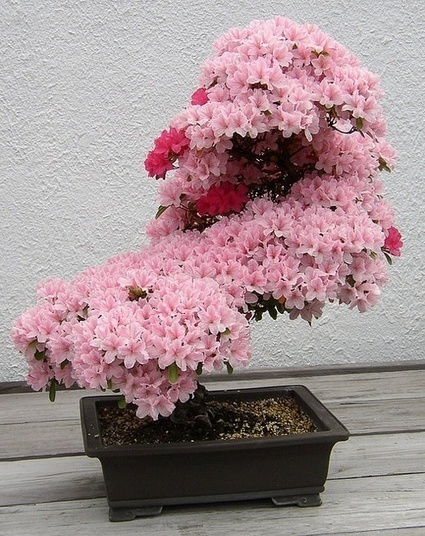 Bonsai cherry tree | Sports | Scoop.it