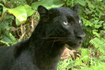 Development halted in crucial wildlife corridor in Malaysia | The Glory of the Garden | Scoop.it