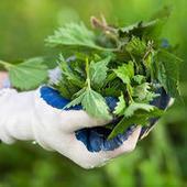 Jardiner sans pesticides - Le purin d'ortie sauvé - UFC-Que Choisir | Chimie verte et agroécologie | Scoop.it