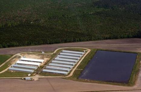 The Disgusting Methods Factory Farms Use to Dispose of 12,000 Hog's Worth of Waste - DailyFinance | North Carolina Agriculture | Scoop.it