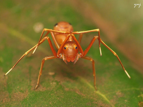 Spider Disguises as an Ant to Hunt Its Prey | Spiders | Scoop.it
